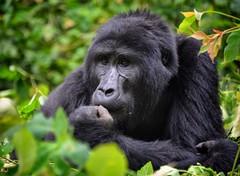 Mountain Gorilla, Bwindi, Uganda (Rod Waddington) Tags: africa mountain forest gorilla afrika endangered uganda rare silverback impenetrable bwindi