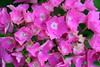 Hydrangea macrophylla (eric.guiton) Tags: rose hydrangea hortensia macrophylla canon650d canonefs18135stm