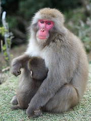 Mother and her Baby (nschleheck) Tags: park red portrait baby tourism face animal japan closeup mammal monkey asia arms wildlife mother mum arashiyama protective affe macaque selectivefocus protecting japanesemacaque shallowfocus kyotocity younganimal kyotoprefecture makkake