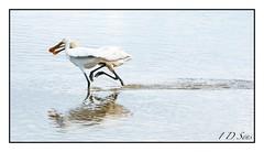 Allons ensemble (1DSens33) Tags: bird vol bec blanche teich marais parc oiseau oiseaux plume spatule ornithologie platalea leucorodia