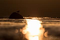 Sunset Seagulls (JKonradsen Photography) Tags: sunset sea reflection bird nature water backlight bokeh fjord backlit seabirds naturephotography rimlight birdphotography steinvikholmen stjrdal jkonradsen