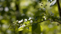 blooming may (Sergey S Ponomarev) Tags: flowers summer macro primavera nature colors closeup canon 50mm leaf spring russia bokeh branches north may natura foliage colori f28 russie maggio industar kirov 2016 russland          vyatka 70d     sergeyponomarev viatka   wjatka