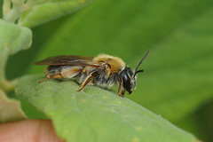Andrena haemorrhoa,female (henk.wallays) Tags: