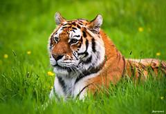 The Siberian (also Amur) Tiger. (_Anathemus_) Tags: park uk england nikon bokeh safari d750 siberian nikkor wiltshire potrait longleat amur 70200mm