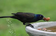 STEALING PEANUTS (smittyguy) Tags: birdbath peanuts grackle kansas birdwatching
