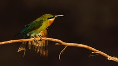 Blue Tailed Bee Eater HiRes (Dr. Farhan) Tags: blue green nature wow dancing wildlife bee tailed eater