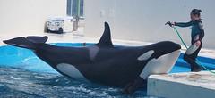 Ran2 (EmilyOrca) Tags: water pool training mammal aquarium marine stage landing present orca trainer cetacean