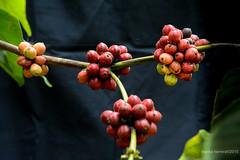 2015. Munduk. (Marisa y Angel) Tags: bali coffee indonesia shrub 2015 munduk cafeto