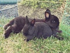 Buns (elle.beeees) Tags: rabbit bunny netherlanddwarf netherlanddwarfrabbit