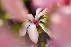 kwiat magnolia (danieltroczynski) Tags: flower magnolia kwiat sonya6000 asahi1855