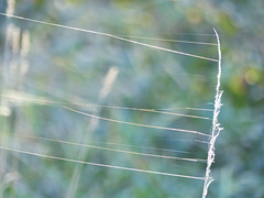 P1090375-spider silk on grass-A (elisabethgleave) Tags: spidersilk