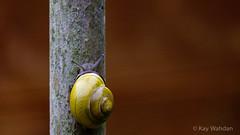 Die kleine Schnecke Schnirkelschneck (Kay Wahdan) Tags: nature animal yellow fauna garden spring natur snail gelb tamron garten ruhrgebiet schnecke nordrheinwestfalen animalia gastropoda tier frhling mollusk pulmonata castroprauxel cepaeahortensis stylommatophora cepaea ruhrvalley orthogastropoda landlungenschnecken ickern bnderschnecke gartenbnderschnecke heterobranchia helicoidea helicini lungenschnecke helicinae molluscaweichtiere eumetazoagewebetiere echteschnecke verschiedenkiemer