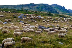 Mountainside Sheep (lory.murariu) Tags: europe sheep romania transfagarasan