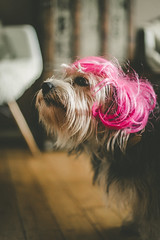 Piper in a Pink Wig | Houston (The Dame of all Trades) Tags: travel dog pets 50mm mutt texas houston wanderlust travelblog petphotography htx dallasphotographer canon6d dallasblogger