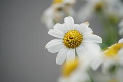 Moist Daisy (arjaluoto) Tags: espoo suomi finland koti kasvi uusimaa paikka luonnonkukka kukkanen placeplaces aihettainenlajittelu friisinniityntie31 luonnonkukkanen puutarhakukkanen