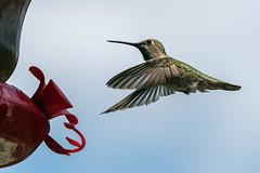 Anna's hummingbird approaches a feeder (tmeallen) Tags: nature female vancouver flying inflight britishcolumbia bluesky hummingbirdfeeder annashummingbird smallbird sharpfocus wingsspread irridescentfeathers nearfeeder