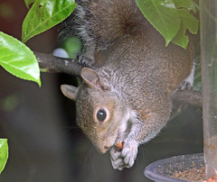 Difficult to chase away. (Blossom's Mom.(Sheila Hess)) Tags: june garden rodent squirrel nuts feeders 2016