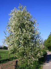 08-IMG_1383 (hemingwayfoto) Tags: wild natur pflanze blte strauch busch weg blhen weis