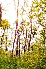 Dance (alexandaredwards) Tags: trees plant nature overgrown beautiful grass corner woods buttercup wildlife secret grow