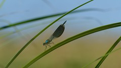 DSCF7697 (faki_) Tags: insect fuji dragonfly fujifilm rovar xe1 szitakt 50230 fujinonxc50230mmf4567ois