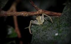 Sidymella aff. rubrosignata (dustaway) Tags: nature rainforest australia nsw arthropoda crabspider rotarypark arachnida lismore australianwildlife araneae araneomorphae thomisidae australianspiders northernrivers
