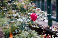 ROSE (LS 's film world) Tags: leica red flower rose bokeh f14 voigtlander 400 40mm m3 nokton xtra