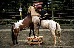 Travesía, 5 continentes al galope (RonaldHV) Tags: show horse caballo colombia country campo agropecuario gallop agro quindio equino galope travesía panaca ejecafetero