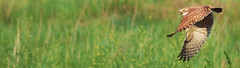 Western Burrowing Owl (m_cooley500) Tags: eyes owl burrowingowl westernburrowingowl rockymountainarsenalnwr