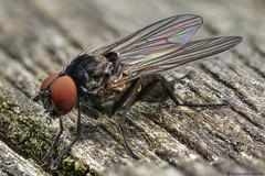 azelia cilipes (Iain Lawrie) Tags: macro fly handheld azelia cilipes iainlawrie