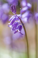 Bluebell Farewell (paulapics2) Tags: blue flower nature floral bulb woodland garden spring flora pretty bokeh blumen canon5d bluebell printemps sigma105mm frhlling