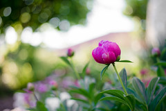 Proud Peony [Welcome Summer] (samuel.rolo) Tags: light beautiful field rose proud garden point 50mm nikon dof view bokeh pov peony 18 depth d610