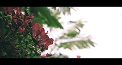 Rain and Flower. (Jukai The Pilgrim) Tags: world flowers light red wild sky plants naturaleza sun sunlight white mountains flower tree green nature water colors dark landscape hongkong grey flora colours outdoor hiking earth sony peaceful national cinematic mirrorless a6000 selp18105g ilce6000