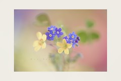 Side by side (Krasne oci) Tags: flowers macro nature weed bokeh gardening yellowflower forgetmenot wildflowers oxalis blueflower artphotography tinyflowers softcolors pastelcolors smallflowers 0364 photographicpoetry evabartos