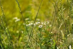 Blten (JBsLightAndShadow) Tags: flowers summer flower field sunshine nikon blossom sommer feld felder sunny blumen bloom fields heidelberg blume blte sonnig sonnenschein blhen nikond3300 d3300