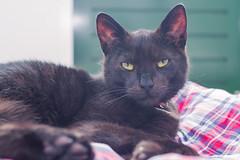 IMG_4128 (BalthasarLeopold) Tags: pet cats pets animal animals cat blackcat mammal kitten feline dof kittens felines blackcats indoorcat dephtoffield