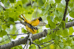 Baltimore Orioles (Peter Stahl Photography) Tags: baltimoreoriole spring oriole fortewhytemanitoba fortewhytealive