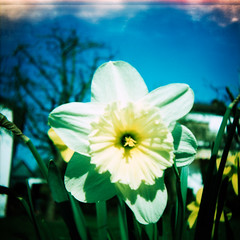 spring (somekeepsakes) Tags: 120 6x6 film closeup analog mediumformat germany square deutschland spring lomo xpro crossprocessed europa europe lightleak analogue e100vs 2012 frhling quadratisch osterglocke closeuplens kodakektachromee100vs mittelformat lichteinfall