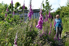 Foxgloves and more at Lammas with house designed by Simon Dale behind (Permaculture Association) Tags: wales gathering ecovillage permaculture 2016 lammas cyrmu paramaethu