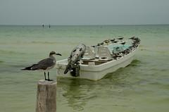 holbox Birds (moke076) Tags: ocean sky seagulls bird beach nature water animals mexico island boat nikon group roo seabird linedup quintana holbox d7000