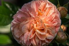 DSC03402.jpg (joerg.stappen) Tags: blume pflanze unsergarten