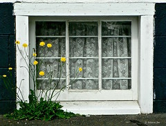 Life Imitating Art (the mindful fox) Tags: plant flower window weed lace curtains