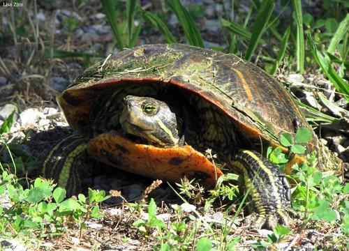 animals outdoors tn turtle tennessee wildlife tortoise mybackyard redearedslider pondslider tennesseewildlife redearedpondslider lisazins animalsoftennessee wildlifeoftennessee tennesseeturtle