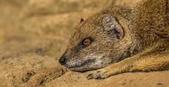 mongoose-1 (tiger3663) Tags: park yellow wildlife yorkshire mongoose