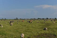 D80_8001A1 (Henk Stroomenbergh) Tags: amsterdam nl dutch cows noord amsterdamnoord schellingwoude ransdorp