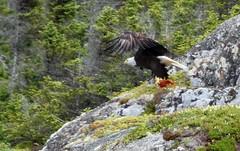 The Eagle found his lunch (Sandra Y Moss) Tags: red fish bird newfoundland lunch eagle talon prey redfish