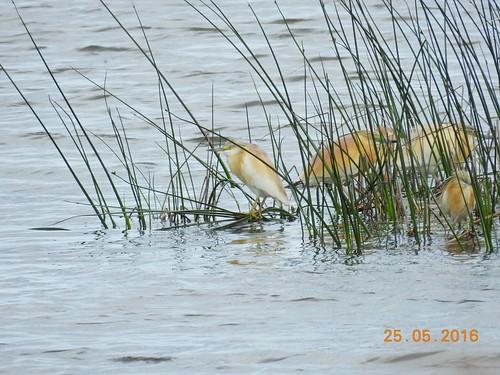 Squacco herons