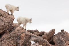 Two Goats and a Marmot (mhawkins) Tags: mtevans