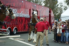 DSC_0124-a28 (stumbleon) Tags: california people horse beer truck team nikon nikond70s demonstration budweiser fairfield hitch peterbuilt heavyhorses anheuserbusch solanocounty clydsdale beerwagon demonstrationteam kttrailer horsehandelers