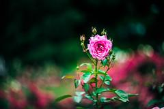 Fun with Helios (Arutemu) Tags: park light blur flower nature rose lens dof bokeh 85mm 花 自然 公園 華 helios 薔薇 f15 ぼけ helios402 バラ ばら ボケ helios85mm 暈け
