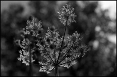 """""""Bokeh floral"""" (praetorian29620) Tags: fdrouet blackandwhite noiretblanc bokeh film fleur flower f801s"""